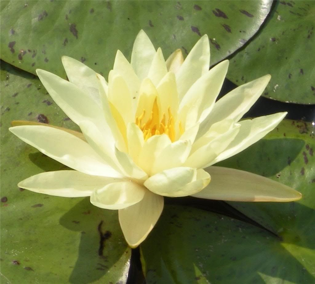 Lotus Nymphaea Asian Water Lily Pad Flower Pond 11 Seeds Red Yellow