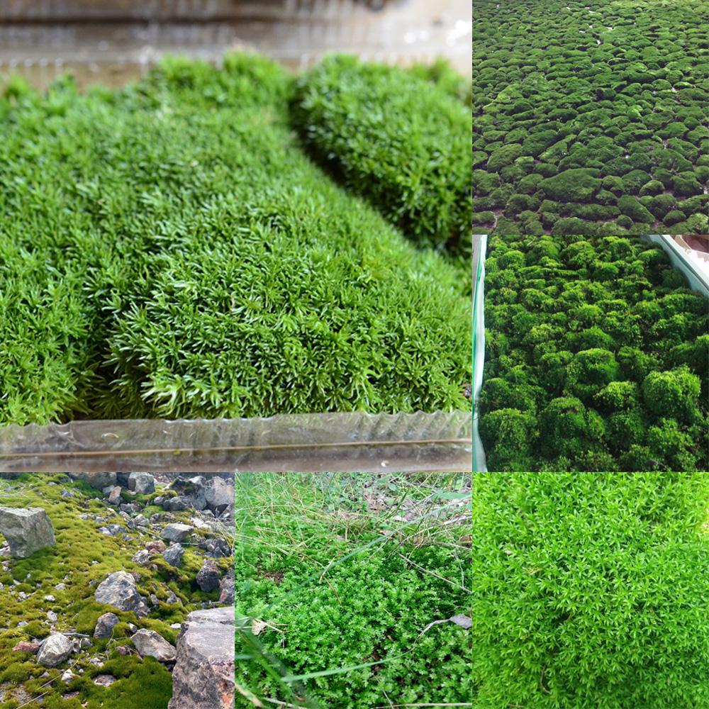 Natural Micro Landscape Green Live Moss Plant Aquarium Fish Tank