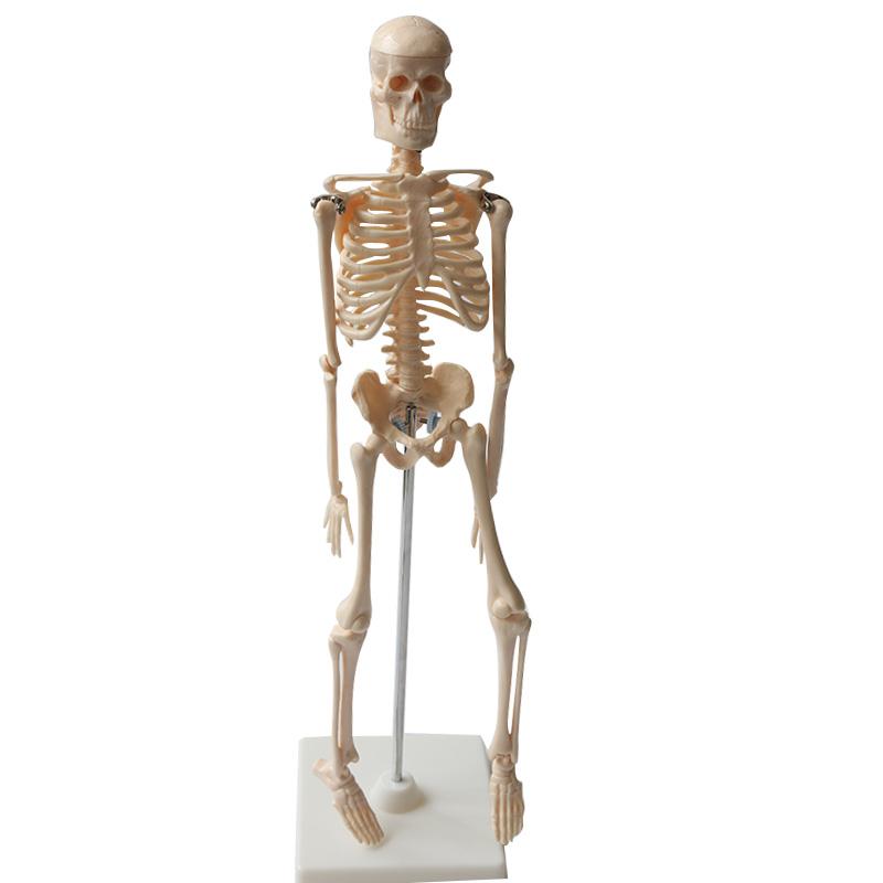 Anatomical Human Skeleton Model Medical Poster Bonnet Stand 1/4 Life ...