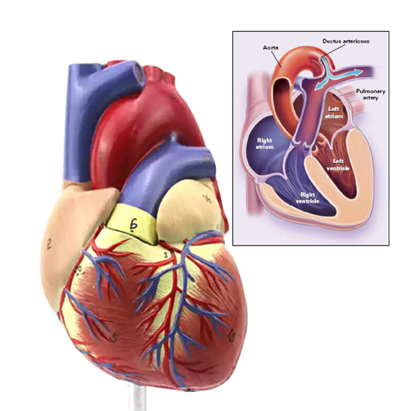 Digital Anatomical Medical Model Human Heart Teaching Cardiac School ...