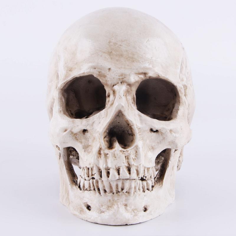 Lebensgroße Menschliche Anatomische Anatomie Kopf Skelett Schädel ...