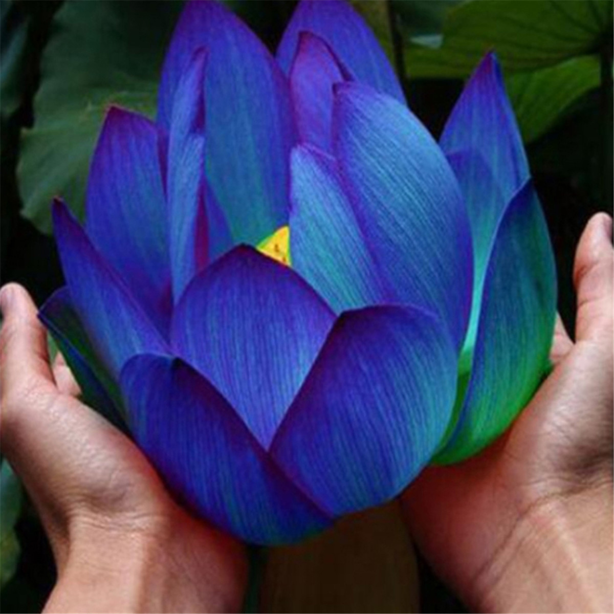 10pcs flower seeds blue lotus seeds aquatic plants water lily plants 10pcs flower seeds blue lotus seeds aquatic plants water lily plants rare lotus izmirmasajfo